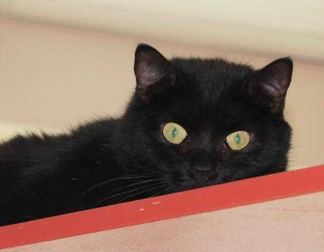 Hey There - My name is Elsie. I am a 2 year old spayed female. I came in with a large group of cats all living in one home. I have a respiratory virus that can be contagious to other cats so I am hoping to be adopted with another cat who lived with me prior (my mates are Maryann, Pigeon, Puppy and Dormouse - you can see their pictures online too!). If you don't have a cat and have been trying to fill that empty void now is your chance! I was fearful when I first came to the shelter, but am now more relaxed and enjoy lots of pets and scratches on my chin! MORE