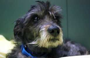 Meet WONKA! This goofy little guy is sure to delight you with his silly antics! He was found as a stray in Boston so we do not know much about his history. Sadly he was found with matted and unkempt fur so it is likely that he was running around lost for quite some time, and is now ready for lots of TLC and snuggles! At 10-years young he still has a lot of spunk and energy and loves to go on long walks. He can actually be a bit jumpy and mouthy at times and has shown some resistance to handling. For these reasons he would probably prefer to live in an adult only home, or with older children. MORE