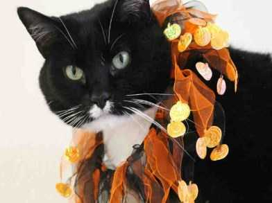 ChiChi is a friendly and sweet black and white 8 year old. She loves to be petted and head butt you. She even gives kisses to her friends! When you visit with her, she spends all her time rubbing against your legs and asking for pets. ChiChi prefers a home as the only cat. MORE