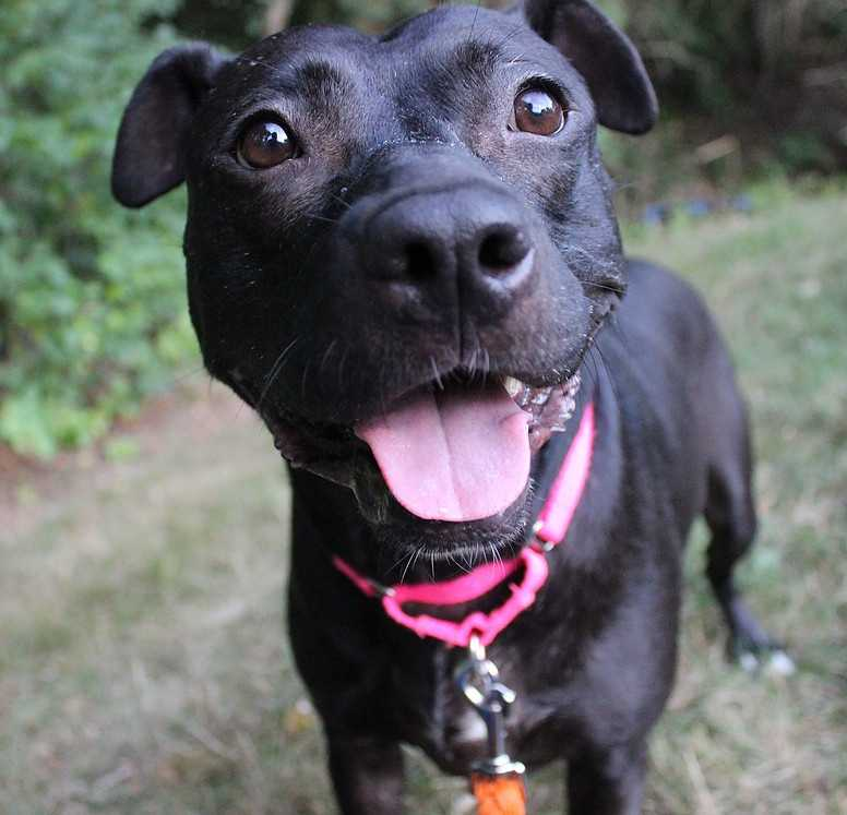 My name is Bambi! I am a 5 year old lab pit bull mix. I am loving, sociable girl. I can be a little shy when I first meet new people in overwhelming environments. But after spending some time with you, I will be comfortable enough to let my sweet & loving personality show through. Please contact the shelter staff by phone at (978) 443-6990 or email at info@buddydoghs.com, or visit us during our regular business hours at 151 Boston Post Road in Sudbury, MA.