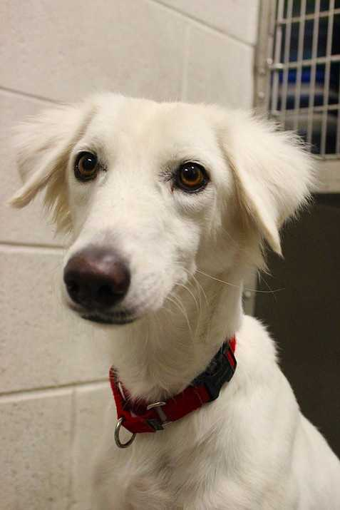 My name is Billa! I am a 2 year old female Saluki mix rescued overseas from Qatar. I am new here, please contact the shelter for more information! Please contact the shelter staff by phone at (978) 443-6990 or email at info@buddydoghs.com, or visit us during our regular business hours at 151 Boston Post Road in Sudbury, MA