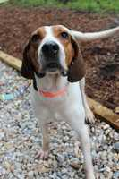 """My name is Baldwin! I am a 1 year old neutered male Hound mix. I am a big goofy pup from South Carolina. I love to be right in the middle of all the action, you might even say that I'm an """"attention hound""""! I am housetrained and have lived with kids ages 8+ in my foster home. I do need to be in a home without teeny dogs or cats - I like to play too roughly with them. I also like to chase squirrels, so I will need to be an on-leash dog unless I'm in a fenced in area. Please contact the shelter staff by phone at (978) 443-6990 or email at info@buddydoghs.com, or visit us during our regular business hours at 151 Boston Post Road in Sudbury, MA."""