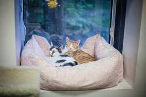 Patches and Willie(aka Billy) snuggled up together for a nap on a rainy day. They are two of our semi-feral cats who are still learning that humans can be great. :-) Please contact the shelter staff by phone at (978) 443-6990 or email at info@buddydoghs.com, or visit us during our regular business hours at 151 Boston Post Road in Sudbury, MA.
