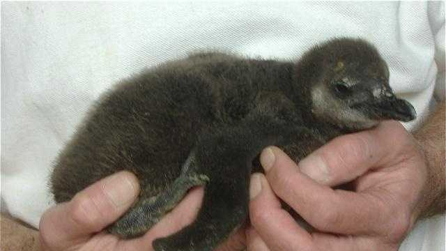Penguin Chick