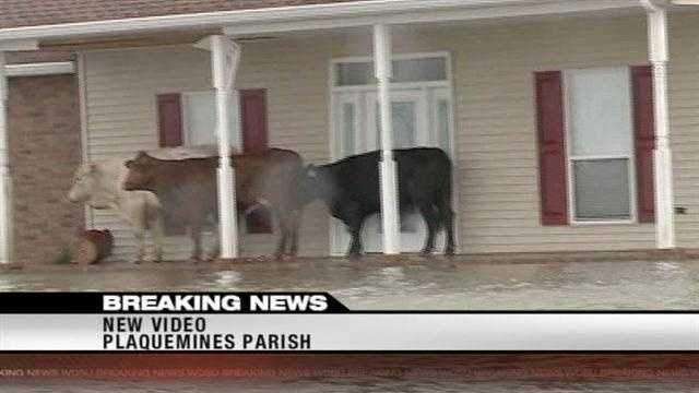 Cows in Plaquemines Parish find high ground after massive flooding from Hurricane Isaac.