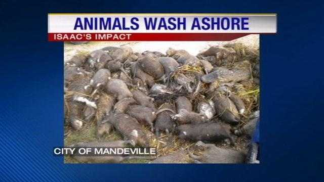 Thousands of dead animals wash ashore on the Northshore in Hurricane Isaac's aftermath.