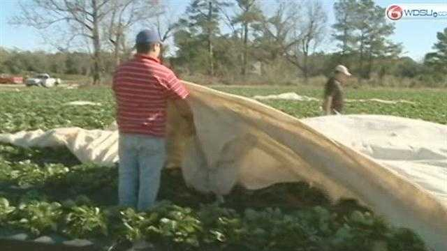 With the cold spell hitting Louisiana, strawberry farmers on the northshore are watching temperatures.