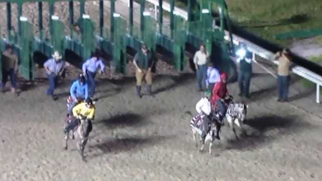 Zebra racing at Fair Grounds