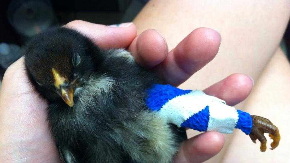 A person then responded to the chick and brought it to the Metairie Small Animal Clinic, where it was treated for a non-displaced fracture in the right leg and a compound fracture in the left leg.
