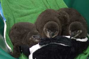 Audubon said the population boom is a testament to the success of its breeding program.