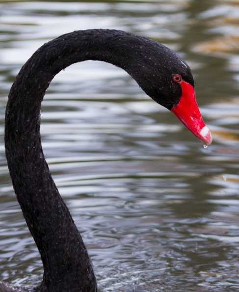In February 2013, City Park's black swan, named Amanda Erika, was injured while protecting her nest filled with eggs. Her eggs were crushed.