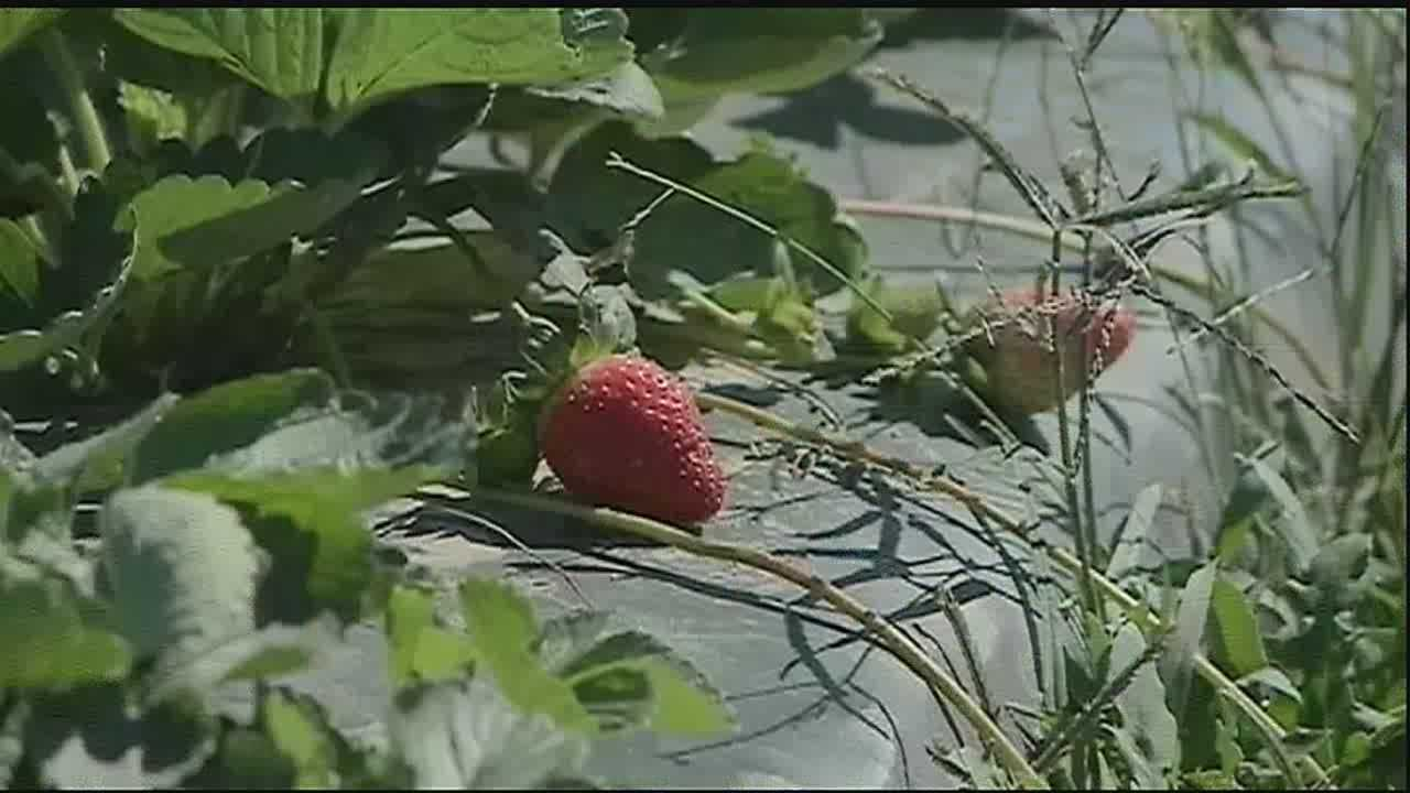 Farmers pleased after pulling back covers Friday morning with crops still intact.