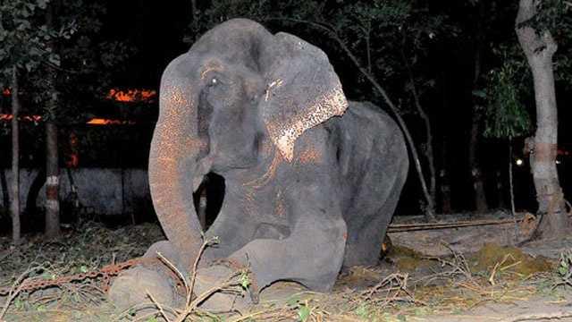 Raju the elephant rescued
