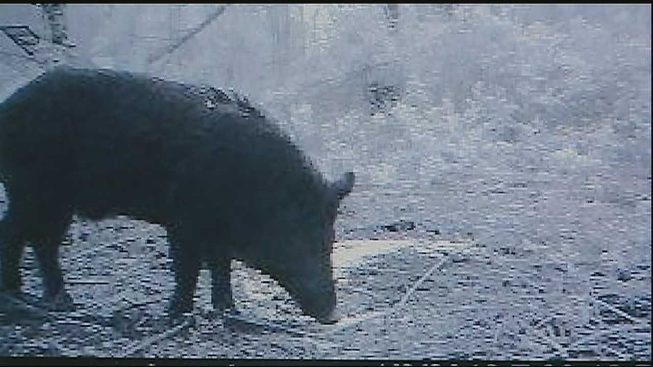 Wild hogs destroy levees in Jefferson Parish.