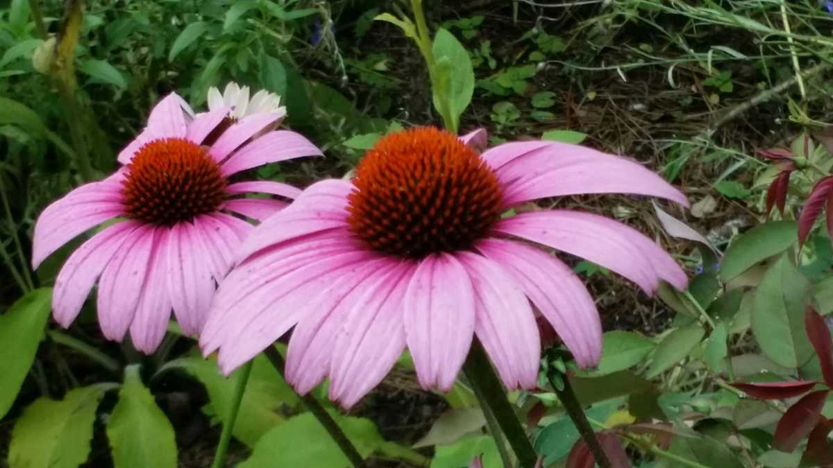 Fall is coming time to give low maintenance perennials a for Low maintenance fall flowers