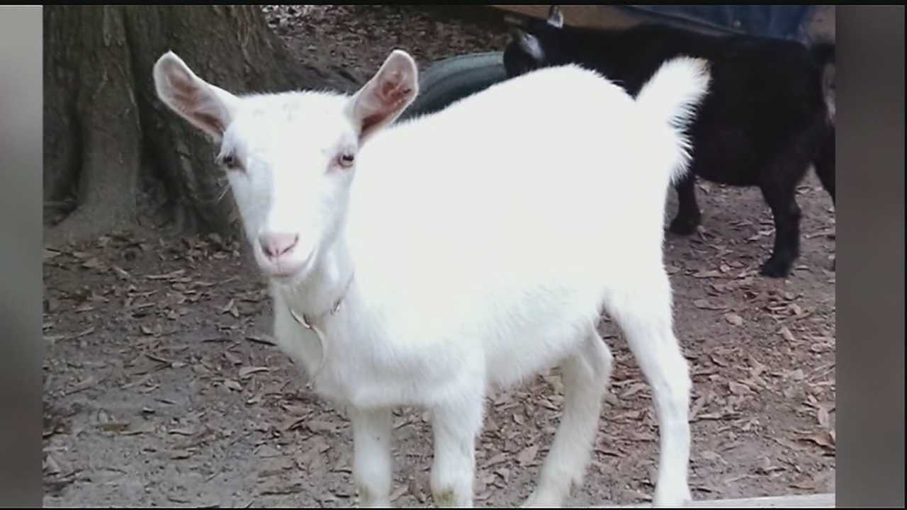 Family says pet goat was stolen, killed, skinned