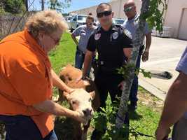 The Slidell Police Department wants to locate the owners of a cow and pig that were found Monday.