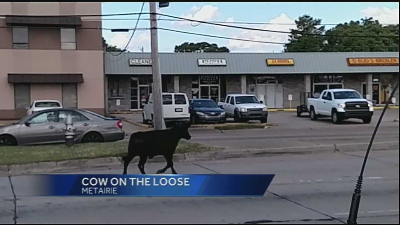 A cow caused quite the stir Tuesday in an area of Metairie.
