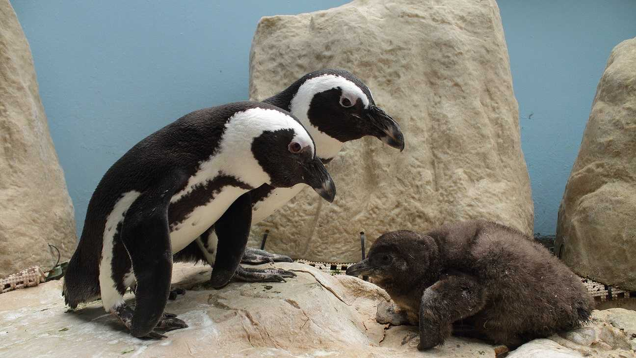 Audubon announced the hatching of an endangered African blackfooted penguin, which was named Chicory. Check out these adorable photos of the new fine feathered family member.