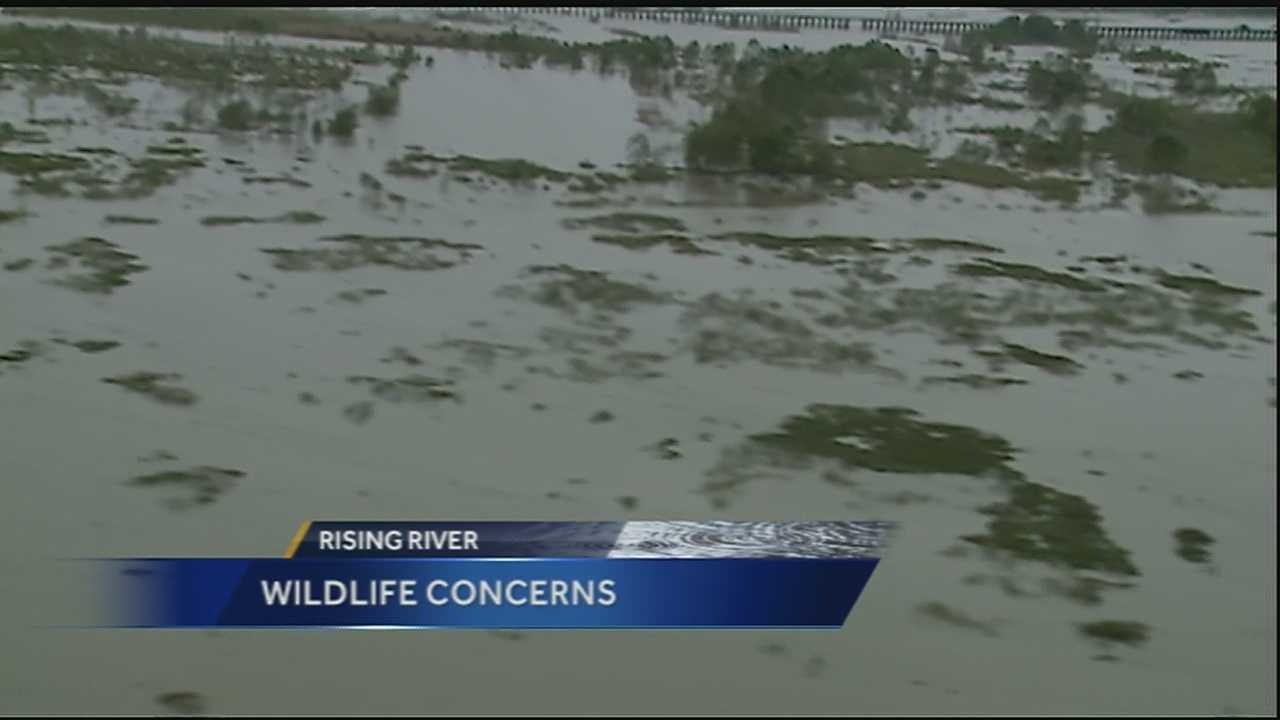 Officials say because of the opening of the Bonnet Carre Spillway, wildlife has been fleeing for higher grounds.