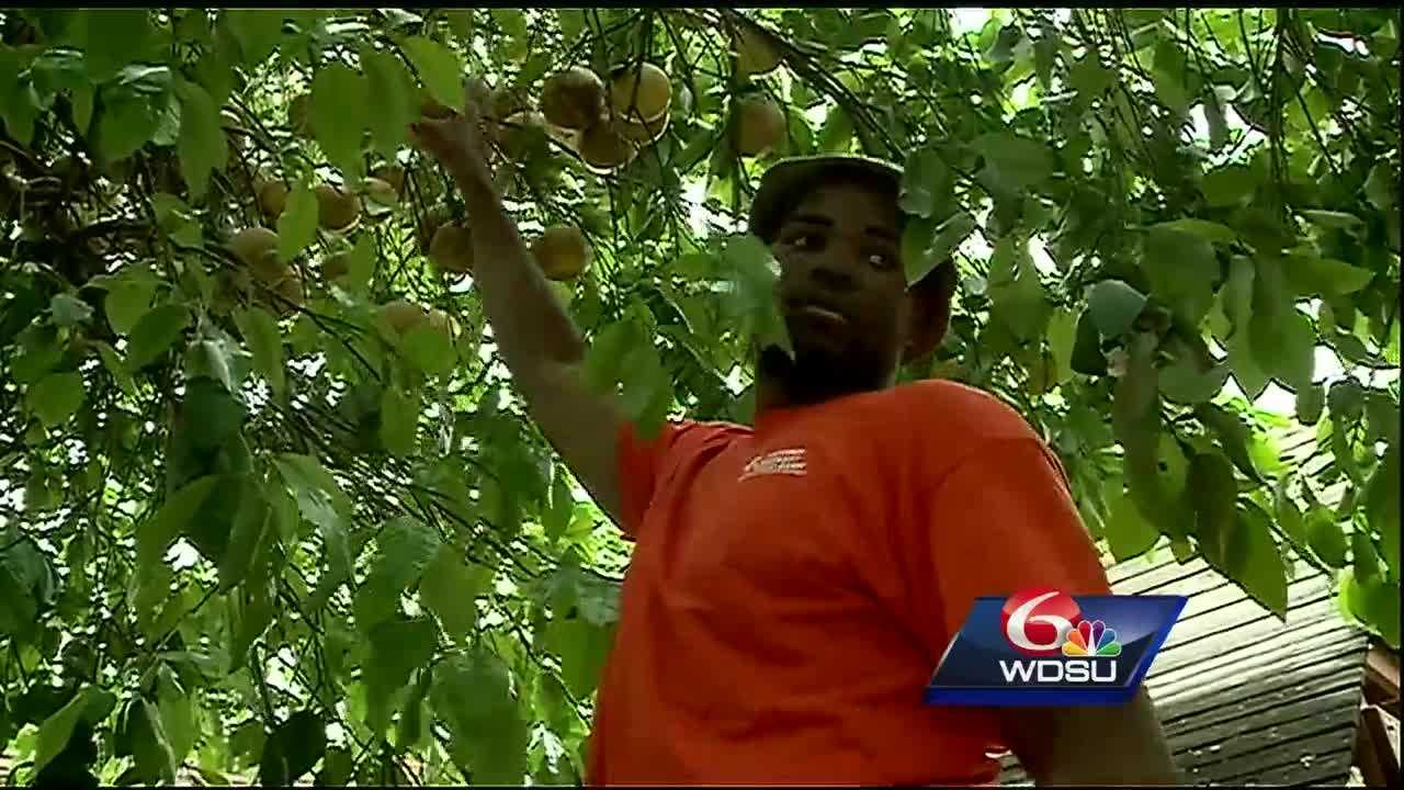 Hidden in the backyards of homes all over the New Orleans metro is the key to putting fresh food on the plates of those in need. The New Orleans Fruit Tree Project aims to tap into this hidden resource.
