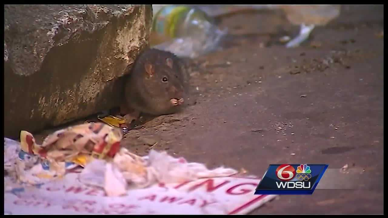 City officials say New Orleans, like any urban area, has rats and roaches infesting alleyways and streets. They say the key to keeping these unwanted creatures away is sanitation.