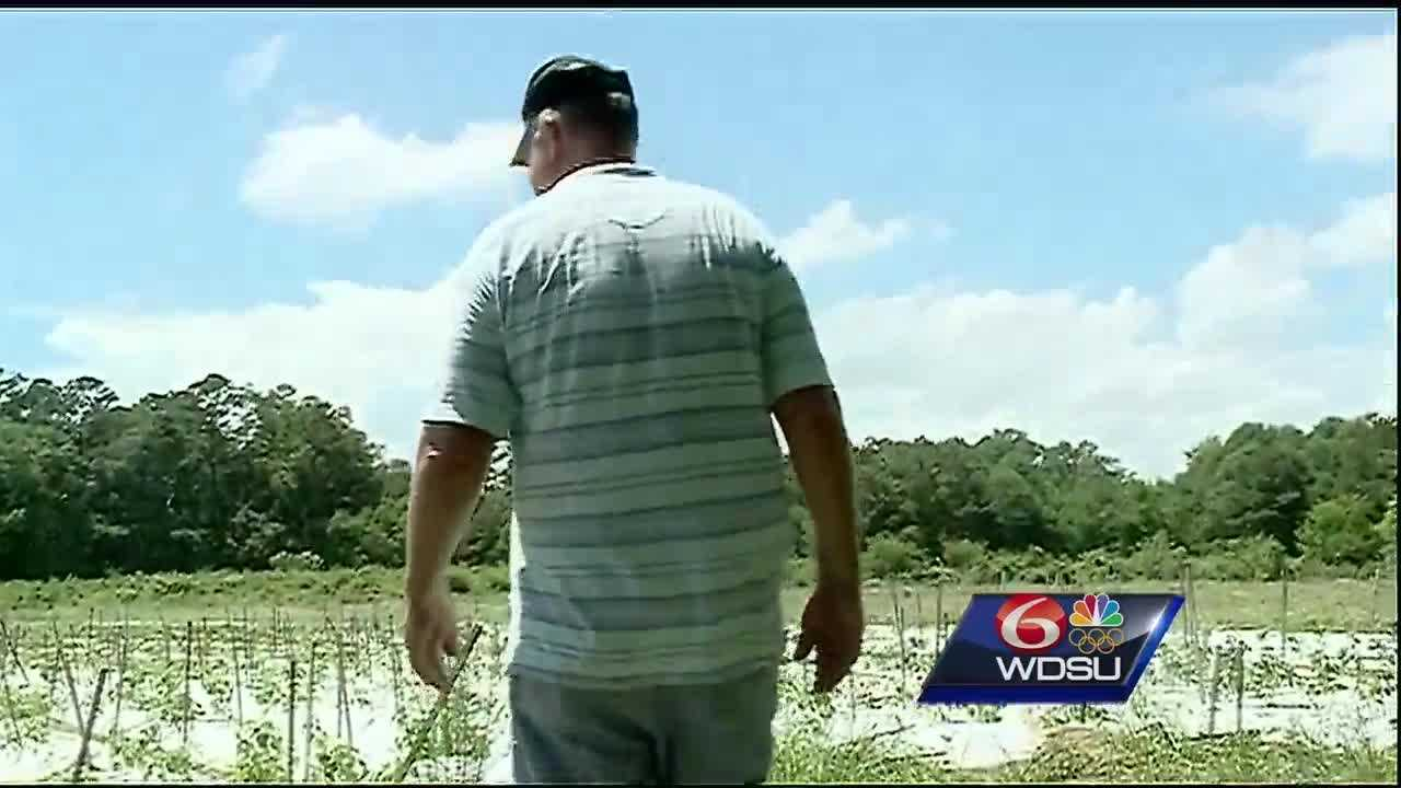 Morrow Farm in Ponchatoula was underwater for several days after devastating floods swept across the state. On Monday, Eric Morrow was able to check on his crops for the first time.