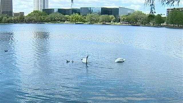 BabySwans1.jpg