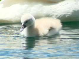 Baby swans were born last week at Lake Eola.