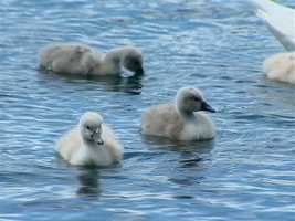 Baby swans hang out in Lake Eola on Monday.