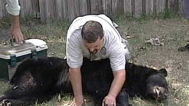 Bear released in Ocala National Forest after downtown Orlando outing