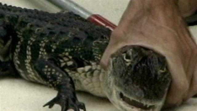 Gator caught in Brevard family's pool