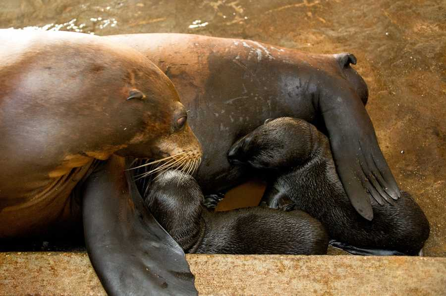 Sea lion pups usually nurse until they are six to 12 months old, SeaWorld says.