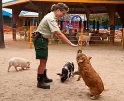 Three rare three Kunekune pigs make their Animal Kingdom debut.