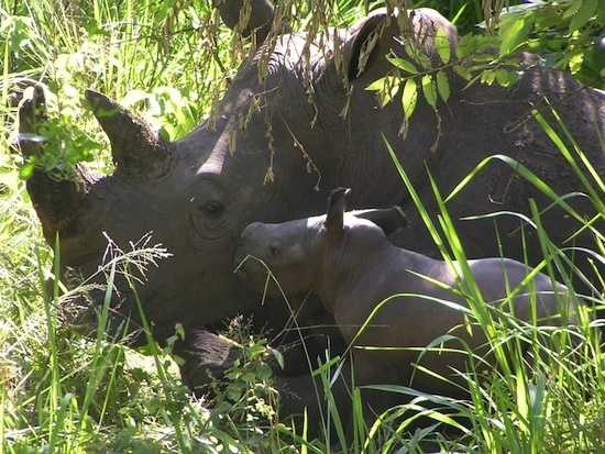 A white rhino named Nande, born at Disney's Animal Kingdom 12 years ago, gave birth to a healthy female calf at the Ziwa Sanctuary in Uganda.