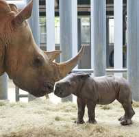 Kendi, a 13-year-old white rhino, gave birth to this little guy on May 4.  The baby will join it's mother on the savanna of Kilimanjaro Safaris.