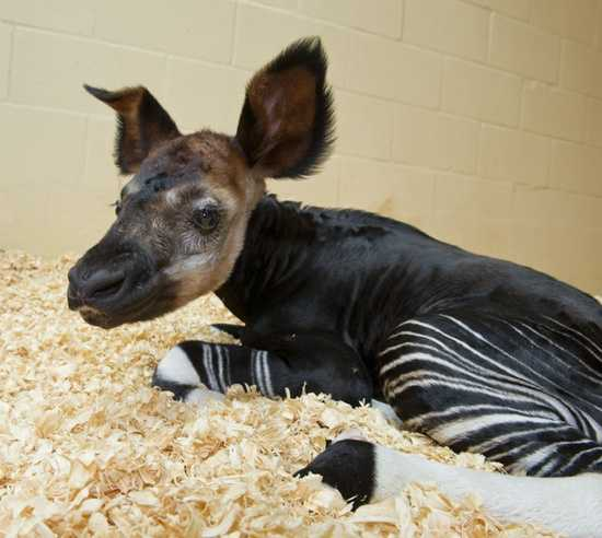 An Okapi calf was born June 21, 2012 at Animal Kingdom.  The female calf was named Nafuna, meaning delivered feet first.