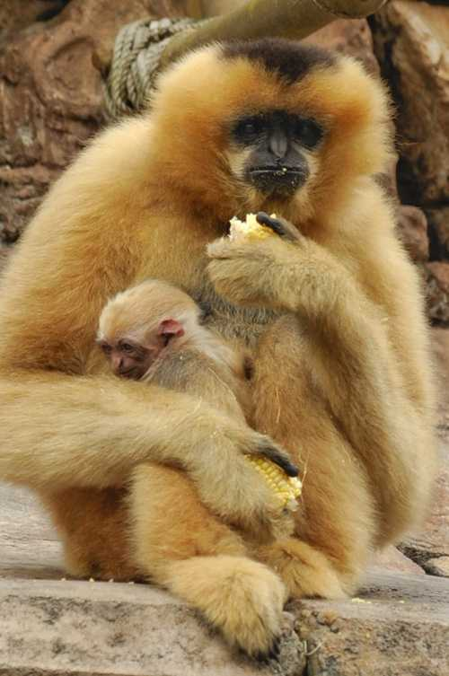 White-Cheeked Gibbons live in small monogamous families, consisting of a mated pair with their offspring.