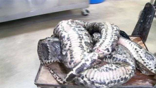 A python stretching more than 17 feet long had 87 eggs in its belly when it was captured in the Florida Everglades.