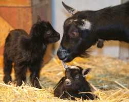 Two baby goats made their first appearance at the Disney parks.  Mama, Mulan, gave birth to Lilo (sitting) and Stitch.