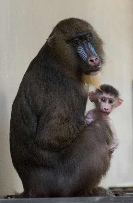 A male baby mandrill was born May 30, 2011 to first-time mother Kelley and is the third born at Disney's Animal Kingdom.  Mandrills are among the largest species of monkey in the world and are considered endangered.