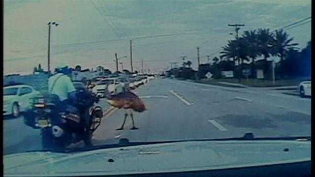 Emu holds up traffic on A1A