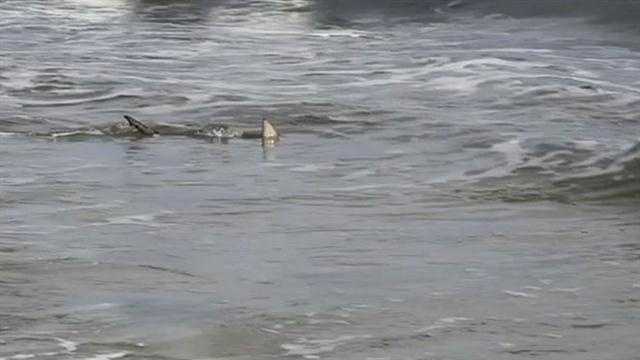 It's not called the shark bite capital of the world for nothing, and if you need proof that sharks are in the water at New Smyrna Beach, a local photographer has it.