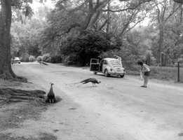 1975 - Peacocks on Genius Drive