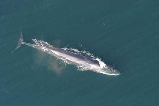 Finback whale - ENDANGERED