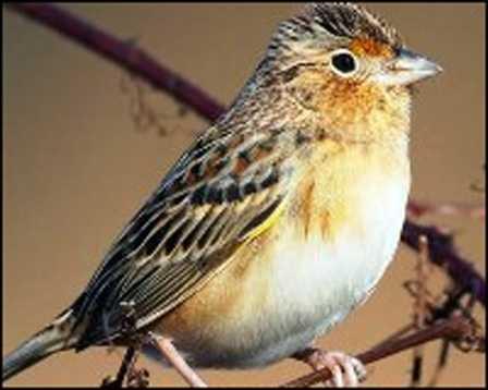Florida grasshopper sparrow - ENDANGERED