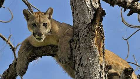 Florida panther - ENDANGERED