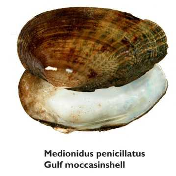 Gulf moccasinshell - ENDANGERED