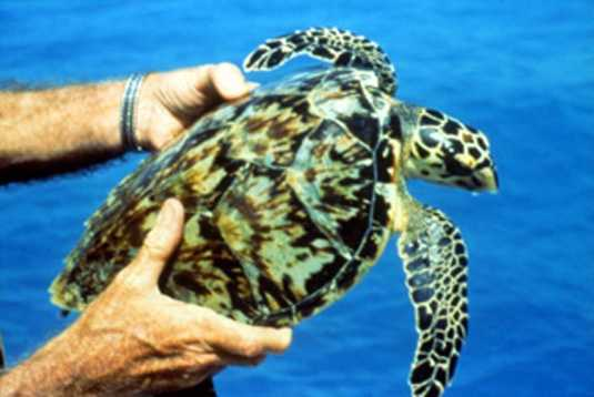 Hawksbill sea turtle - ENDANGERED