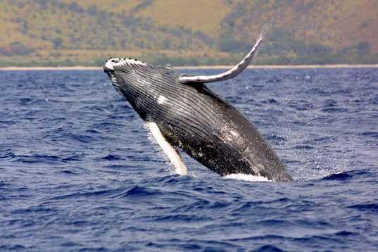 Humpback whale - ENDANGERED